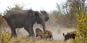 4-CATERS-Elephant-Fighting-Off-Hyenas-05-jpg_171141