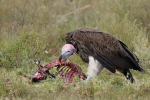 Lappetfaced_vulture